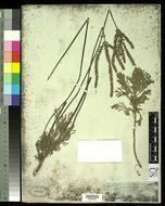 Image of <i>Lavandula pinnata</i> Lundmark