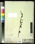 Image of <i>Salvia plebeia</i> R. Br.