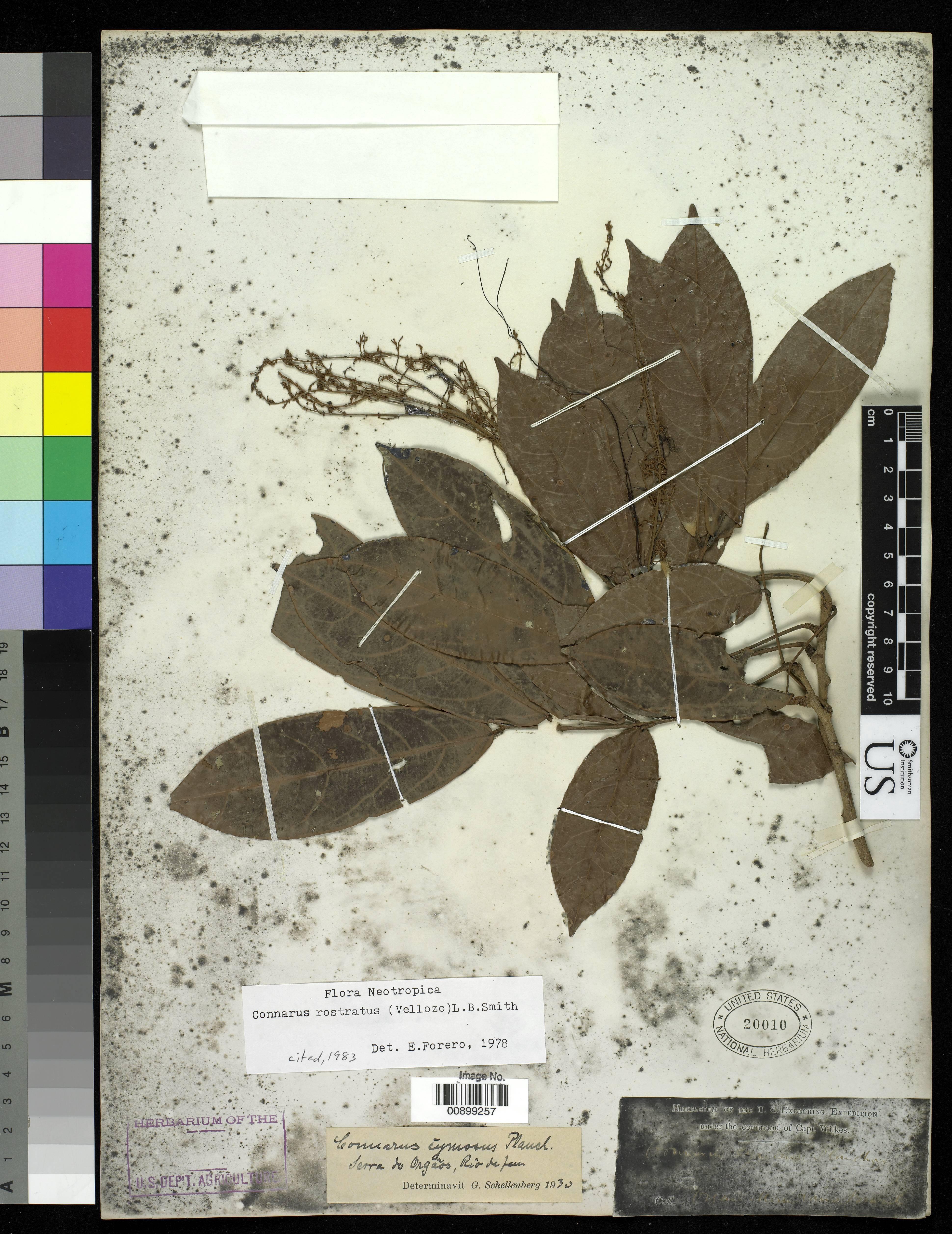 Image of <i>Connarus rostratus</i> (Vell.) Segadas-Vianna & Trindade