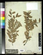 Image of evergreen huckleberry