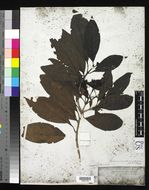 Image of <i>Tarenna sambucina</i> (G. Forst.) T. Durand ex Drake