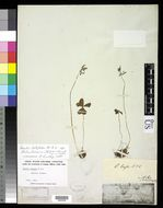 Image of <i>Oxalis latifolia</i> ssp. <i>schraderiana</i> (Kunth) A. Lourteig
