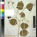 Image of <i>Jasminum simplicifolium</i> G. Forst.