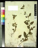 Image of <i>Leucas decemdentata</i> (Willd.) Sm.