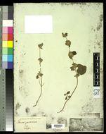 Image of <i>Leucas javanica</i> Benth.