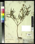 Image of <i>Leucas lavandulifolia</i> Sm.