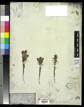 Image of Grand Coulee owl's-clover