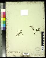 Image of <i>Lindernia pusilla</i> (Willd.) Bold.