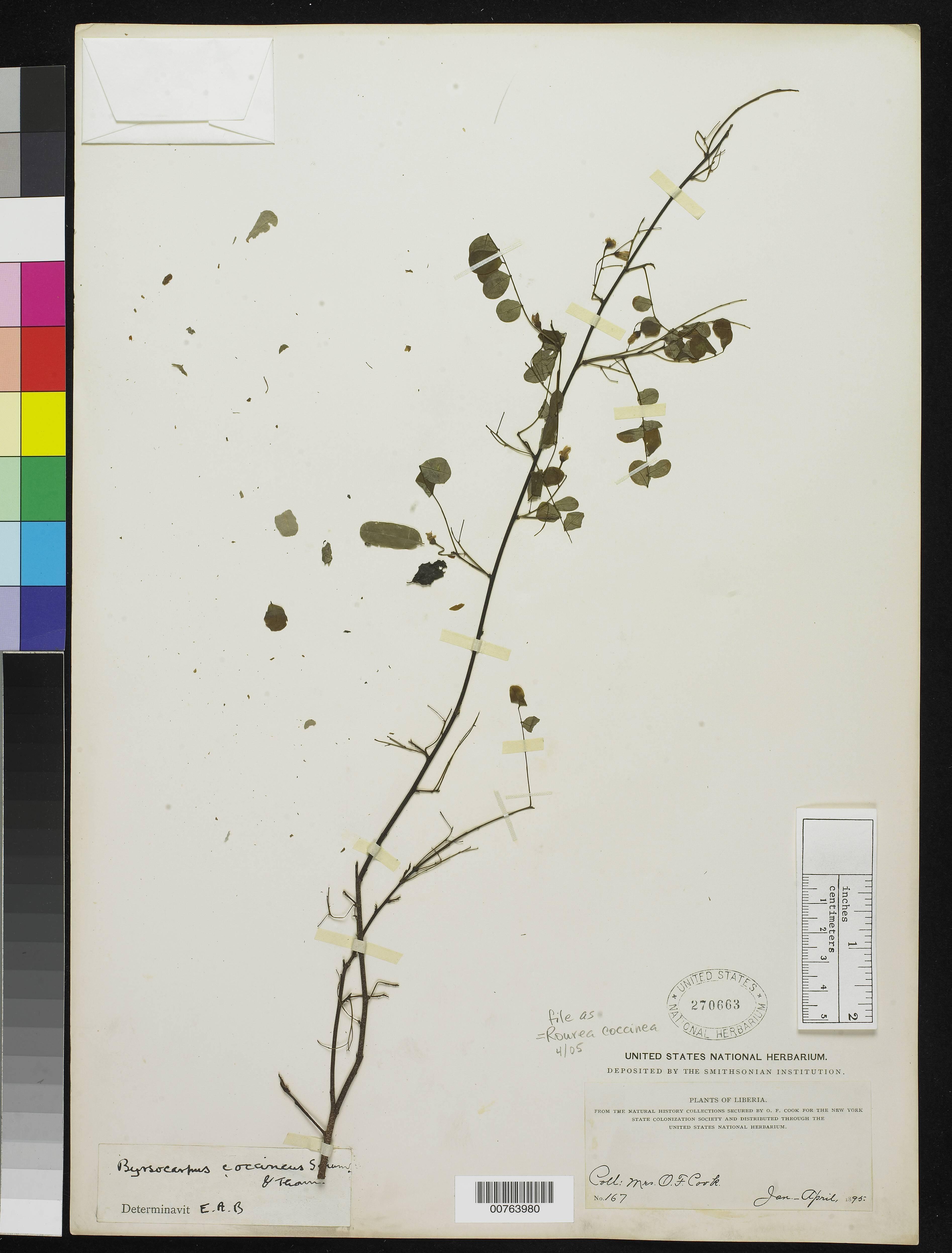 Image of <i>Rourea coccinea</i> (Thonn. ex Schum.) Hook. fil. ex Hook.