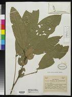 Image of <i>Placodiscus pseudostipularis</i> Radlk