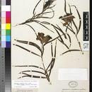 Image of desert willow