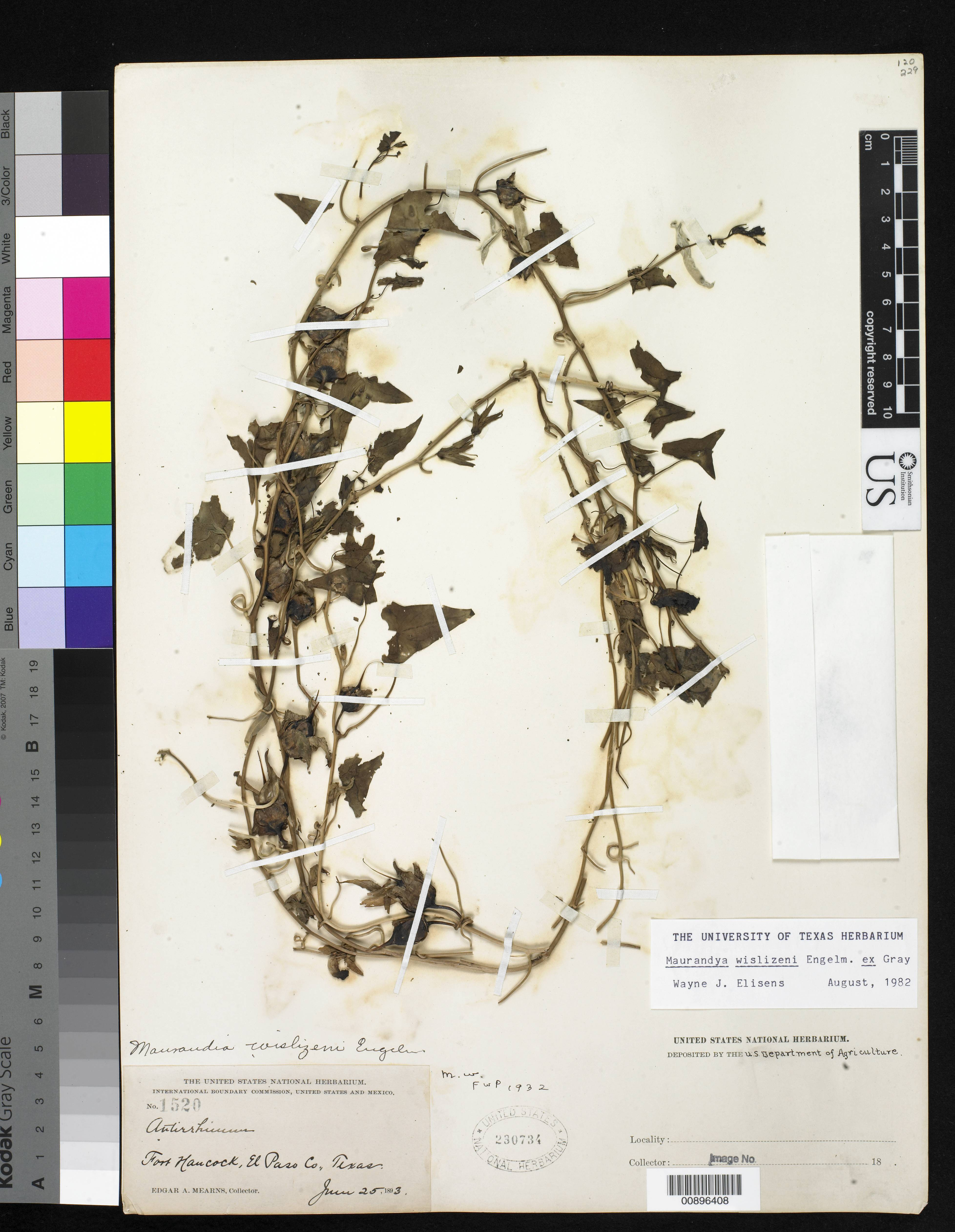 Image of <i>Maurandya wislizeni</i> Engelm. ex A. Gray