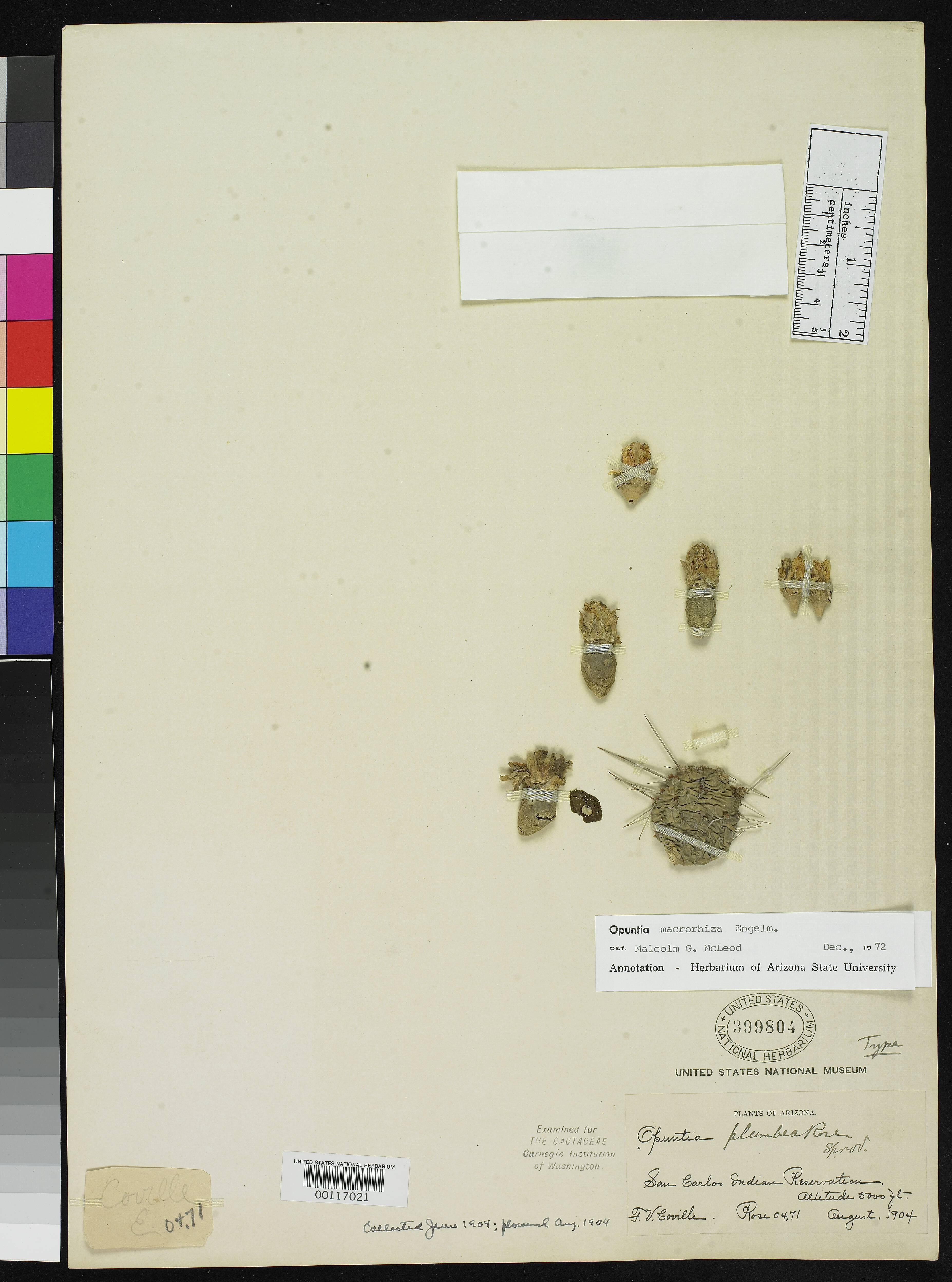 Image of <i>Opuntia plumbea</i> Rose