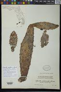 Image of <i>Opuntia polycarpa</i> Small
