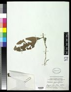 Image of <i>Casearia gigantifolia</i> van Slooten