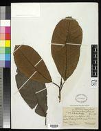 Image of <i>Saurauia nudiflora</i> DC.