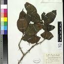 Image of <i>Dactylocladus stenostachys</i> Oliv.