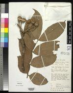 Image of <i>Maniltoa schefferi</i> K. Schum. & Hollrung