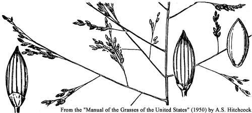 Image of fall panicgrass