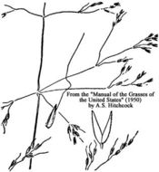 Image of Elliott's bentgrass