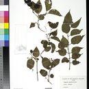 Image of <i>Jasminum marianum</i> DC.