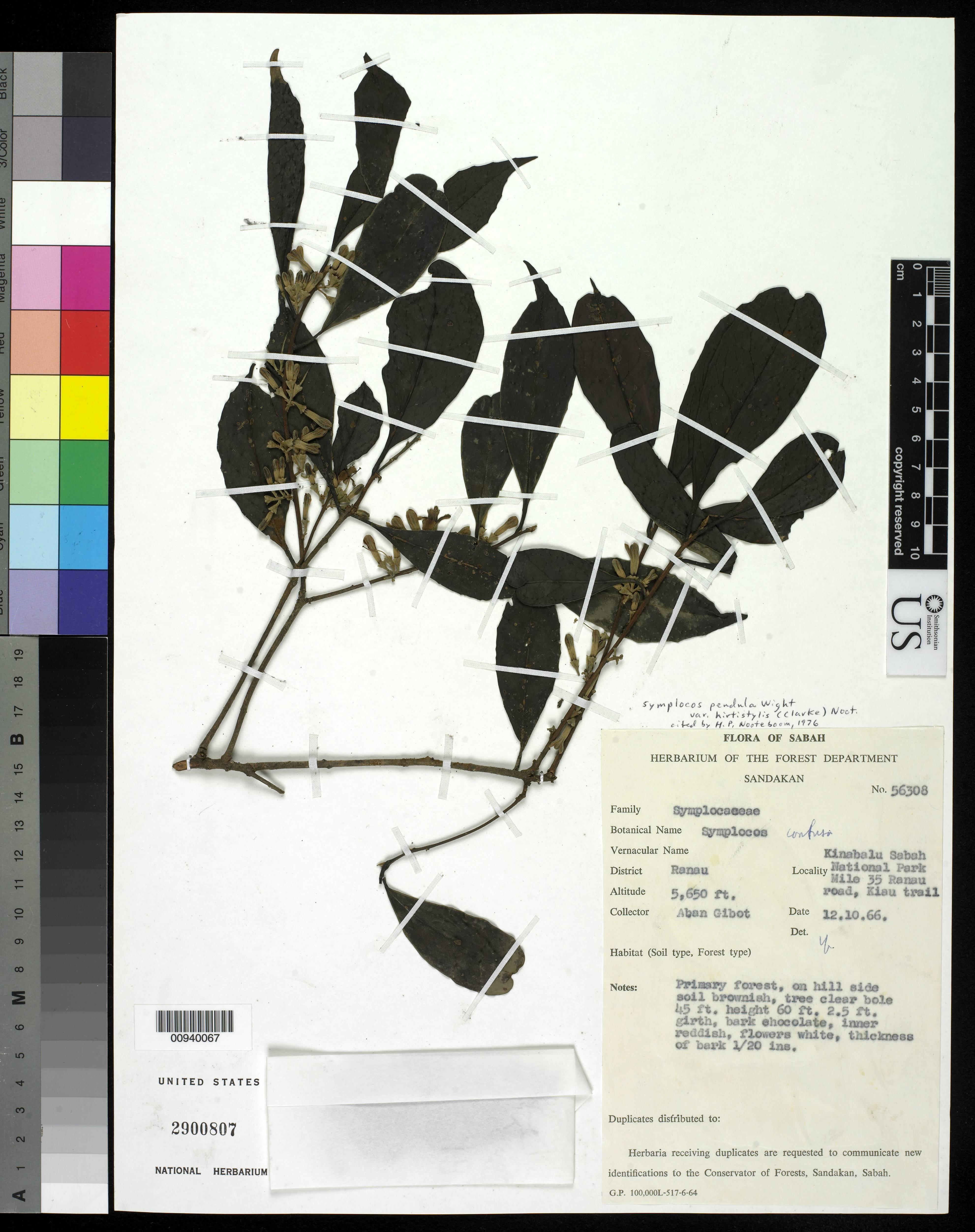 Image of <i>Symplocos pendula</i> var. <i>hirtistylis</i> (C. B. Clarke) Noot.