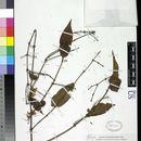 Image of <i>Jasminum elongatum</i> (P. J. Bergius) Willd.