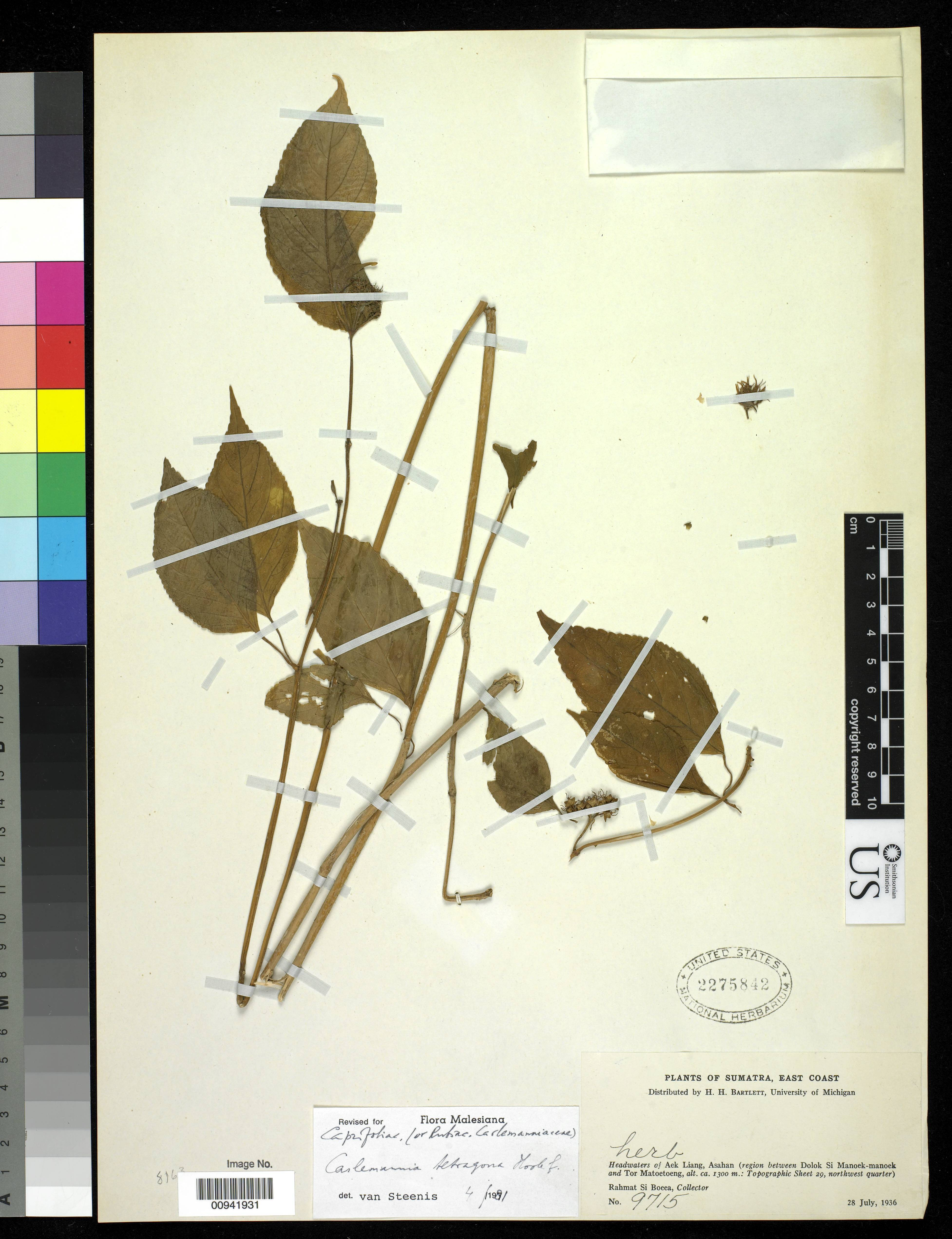Image of <i>Carlemannia tetragona</i> Hook. fil.