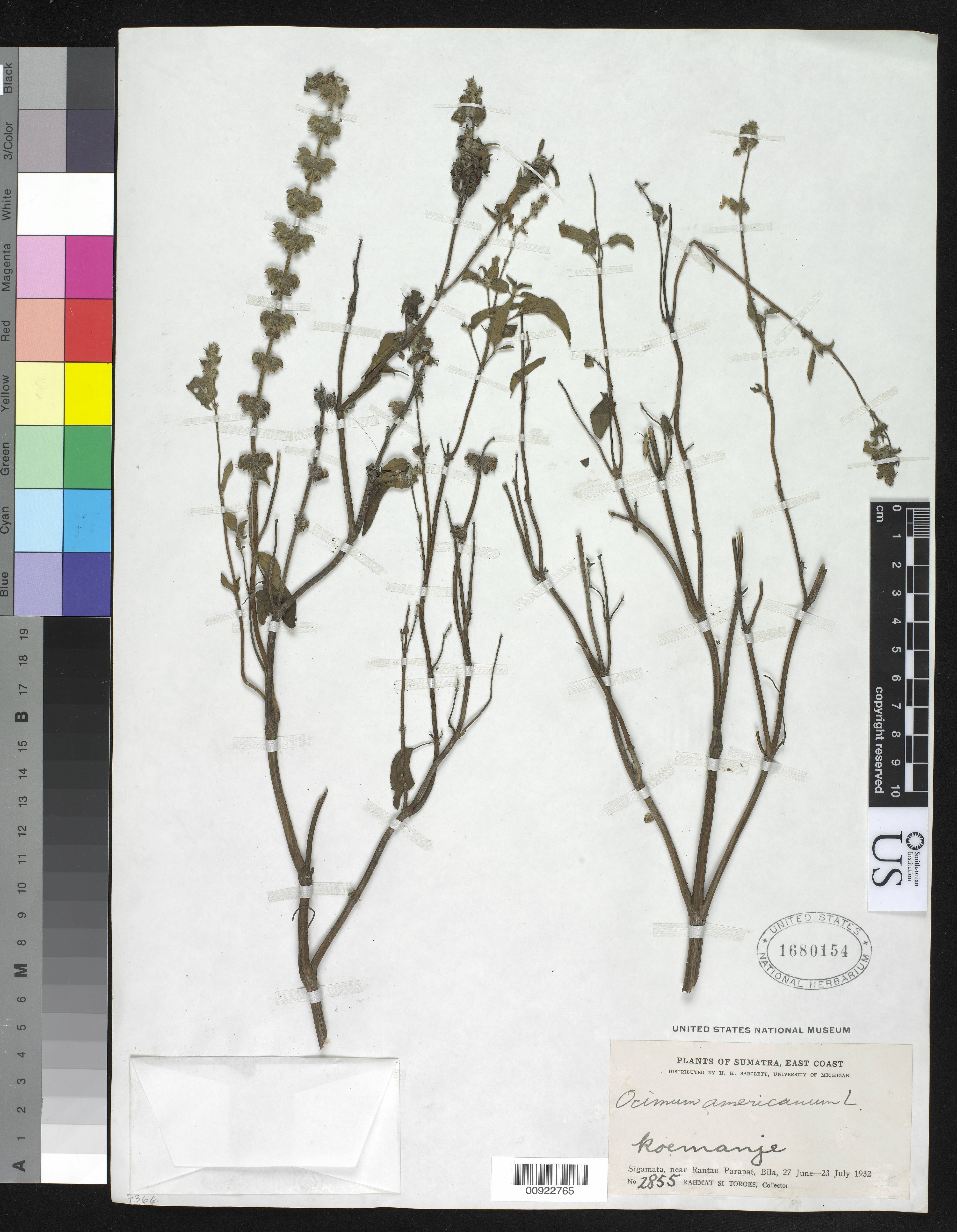 Image of <i>Ocimum americanum</i> L.