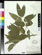 Image of <i>Sapindus vitiensis</i> A. Gray