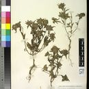 Image of <i>Ziziphora capitata</i> L.