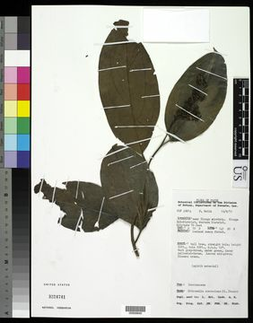 Image of <i>Citronella suaveolens</i> (Blume) R. A. Howard
