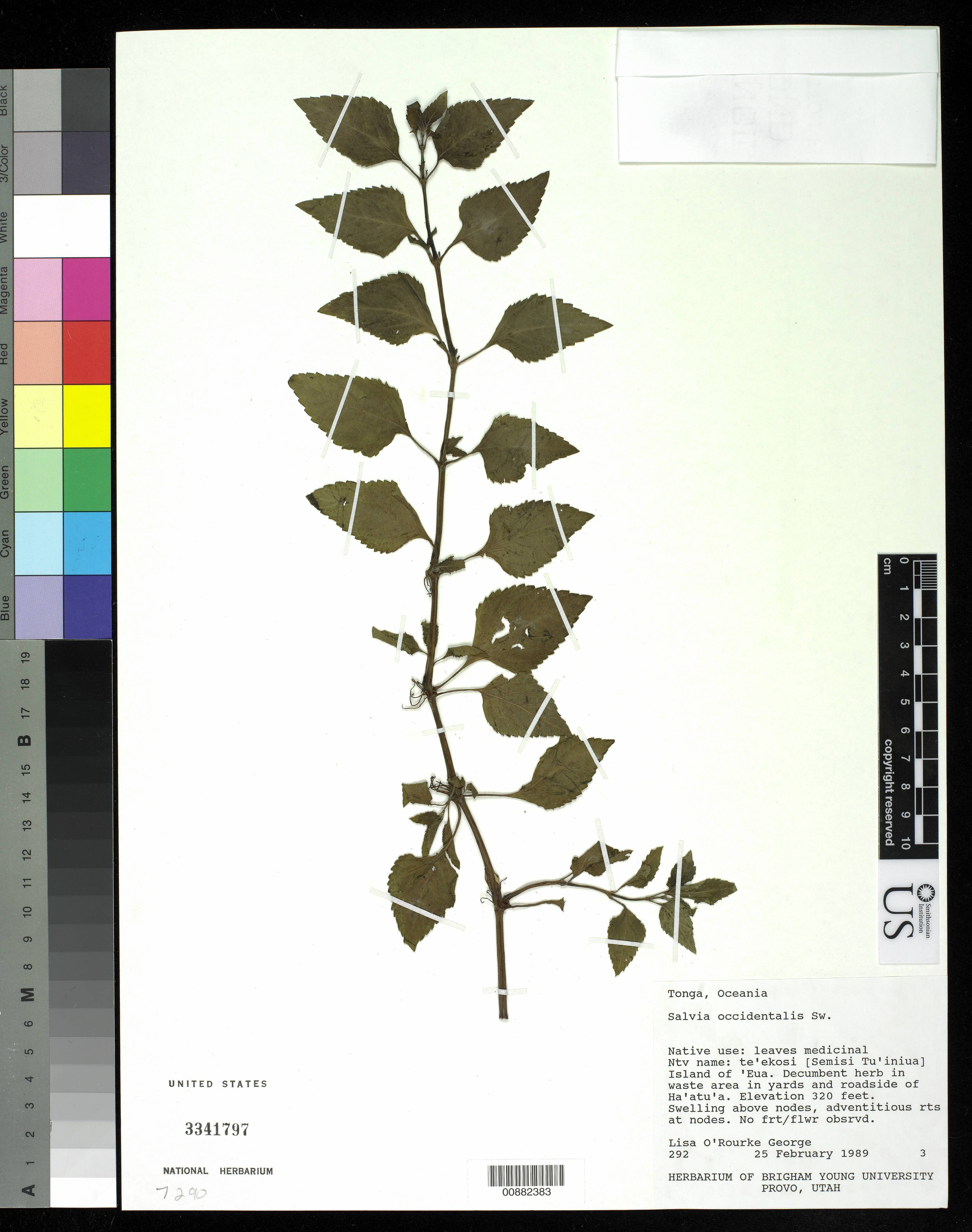 Image of West Indian sage