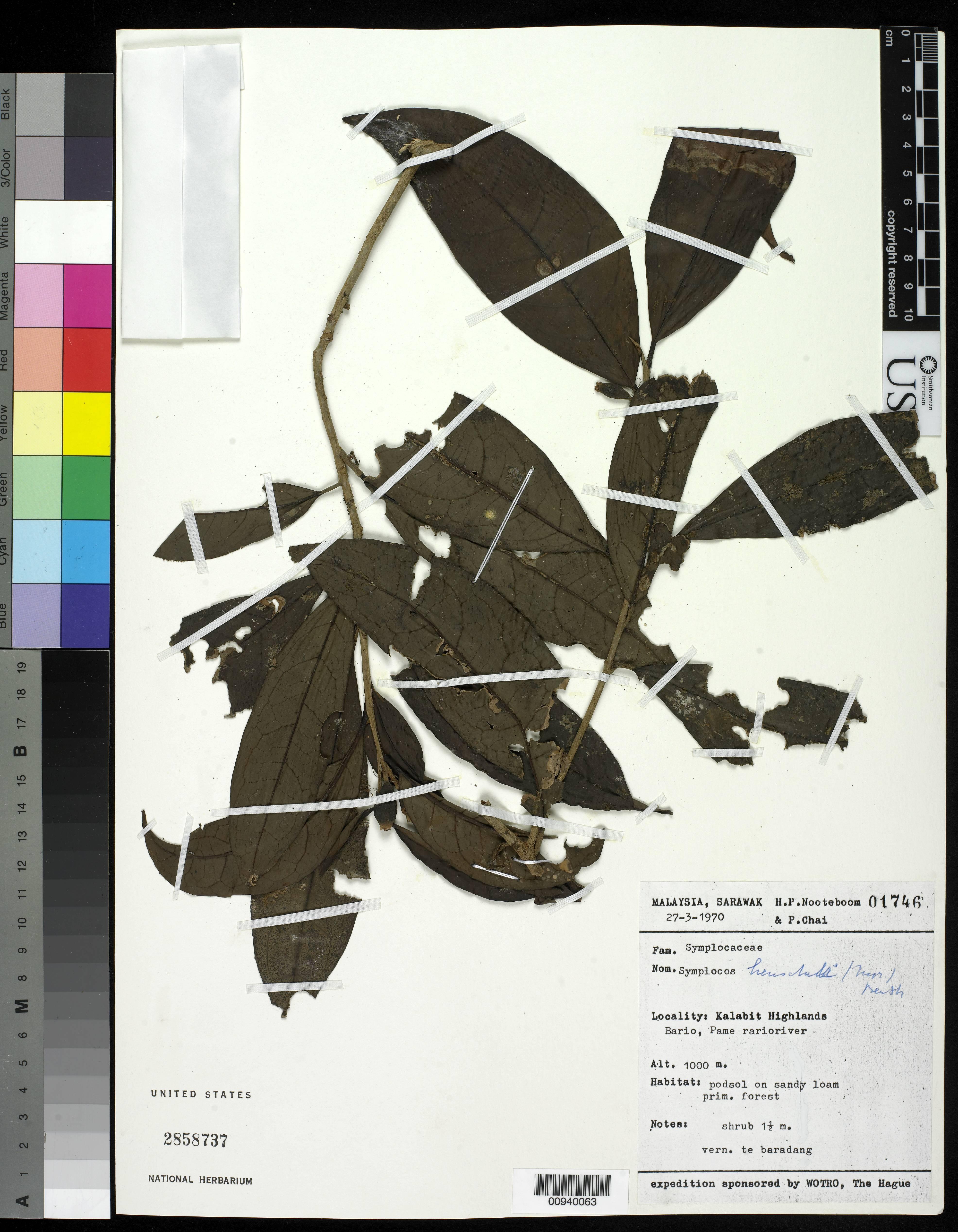 Image of <i>Symplocos henschelii</i> (Moritzi) Benth. ex C. B. Clarke
