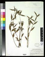 Image of <i>Leucas zeylanica</i> (L.) W. T. Aiton