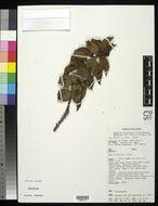 Image of <i>Saurauia capitulata</i>