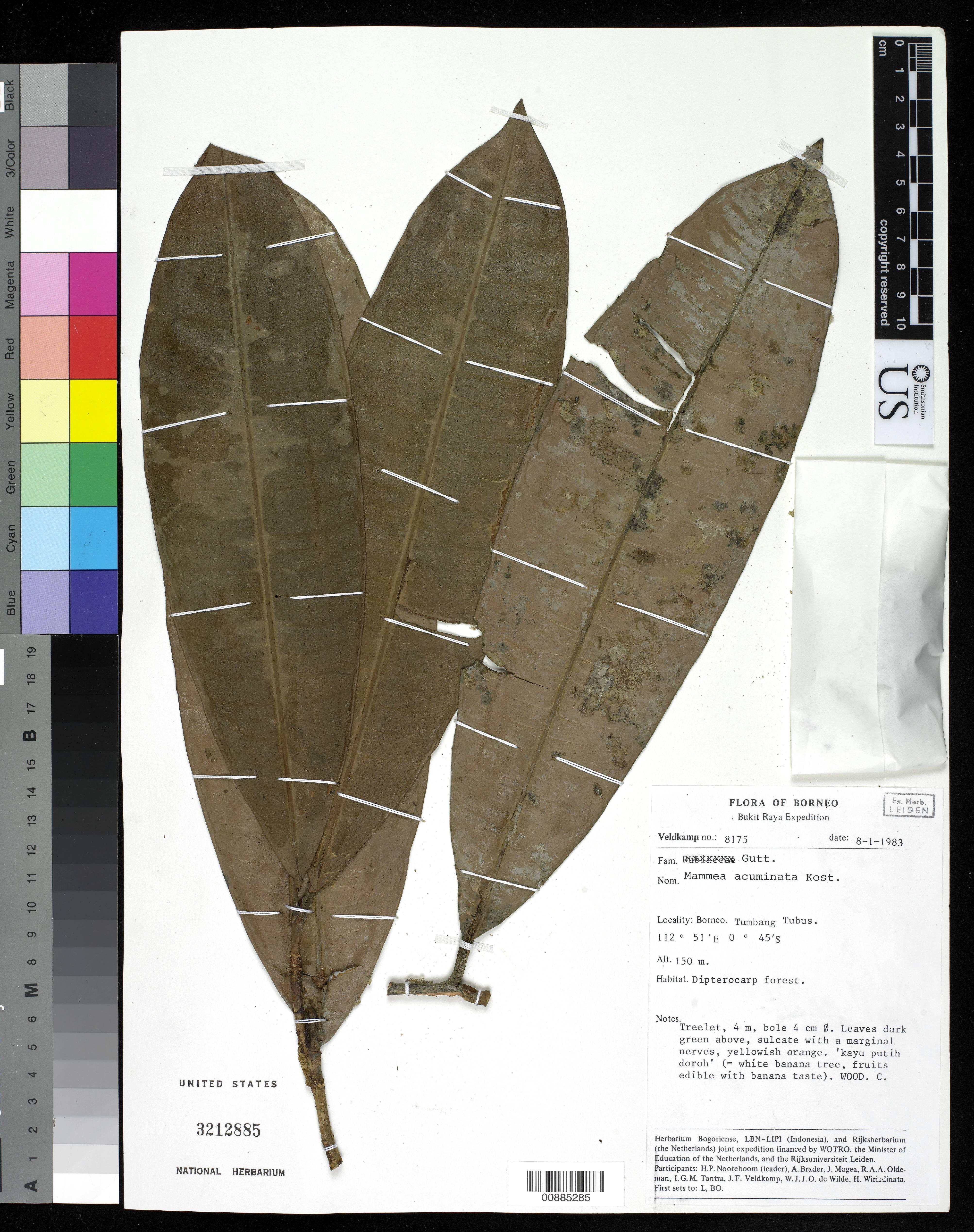 Sivun <i>Mammea acuminata</i> (Kosterm.) Kosterm. kuva