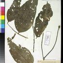 Image of Scleropyrum