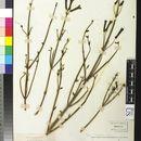 Image of <i>Galvezia juncea</i> (Benth.) A. Gray