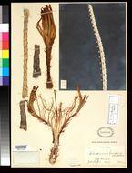 Image of <i>Selenicereus brevispinus</i> Britton & Rose