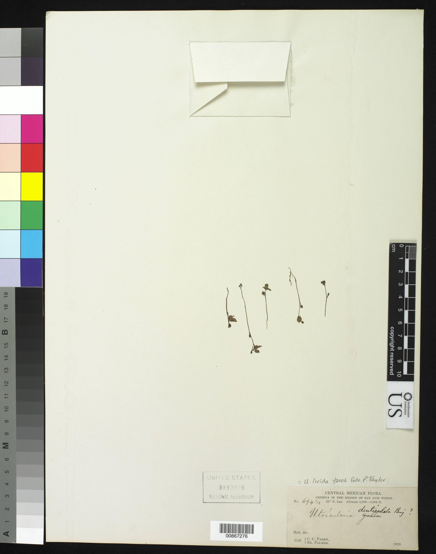 Image of <i>Utricularia livida</i> E. Mey.