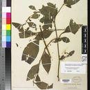 Image of <i>Cuscuta corymbosa</i> var. <i>grandiflora</i> Engelmann