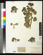 Image of <i>Maurandya erecta</i> Hemsl.