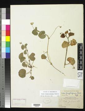 Image of <i>Viola flagelliformis</i> Hemsl.
