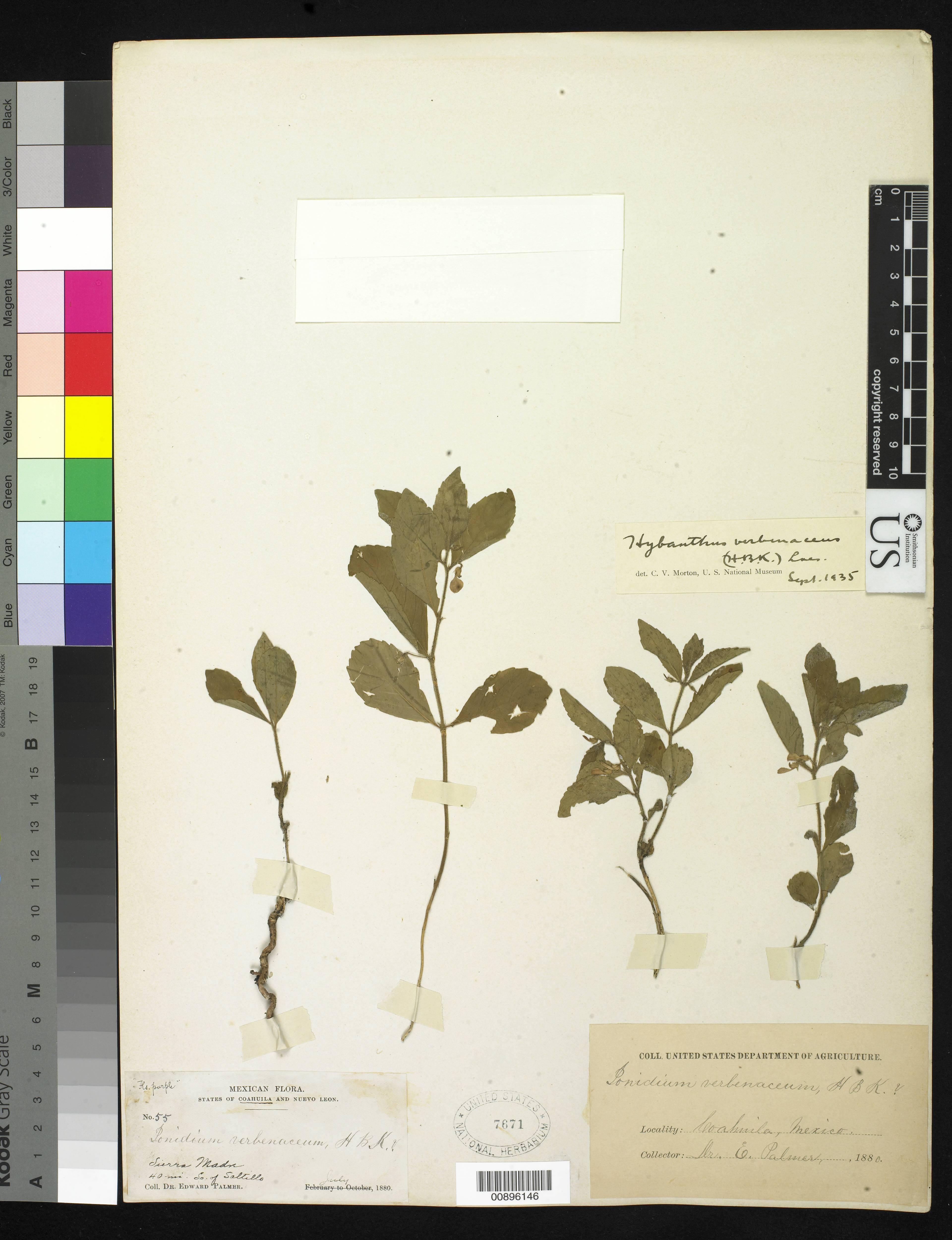 Image of <i>Hybanthus verbenaceus</i> (Kunth) Loes.