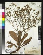 Image of marsh rosemary