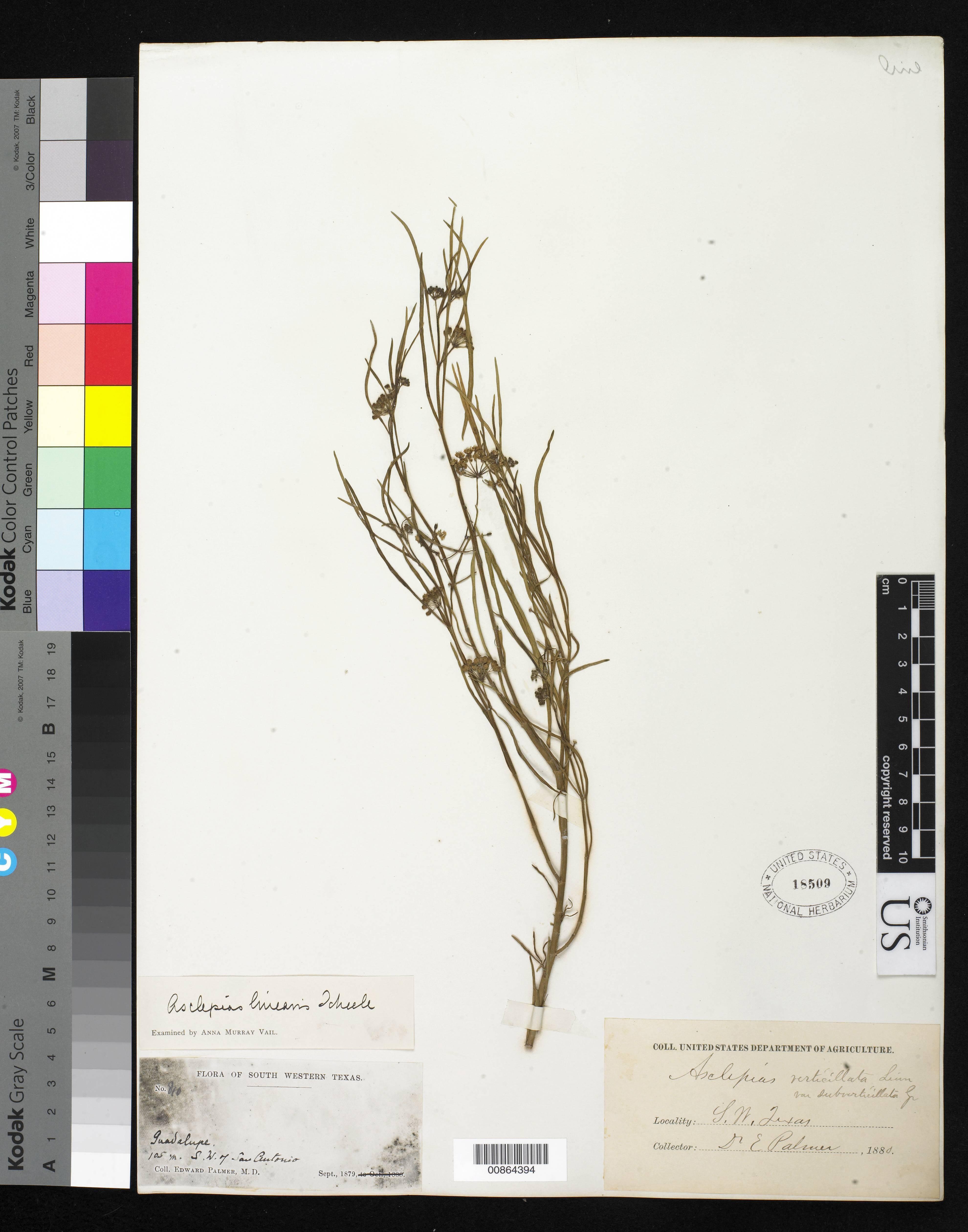 Image of slim milkweed