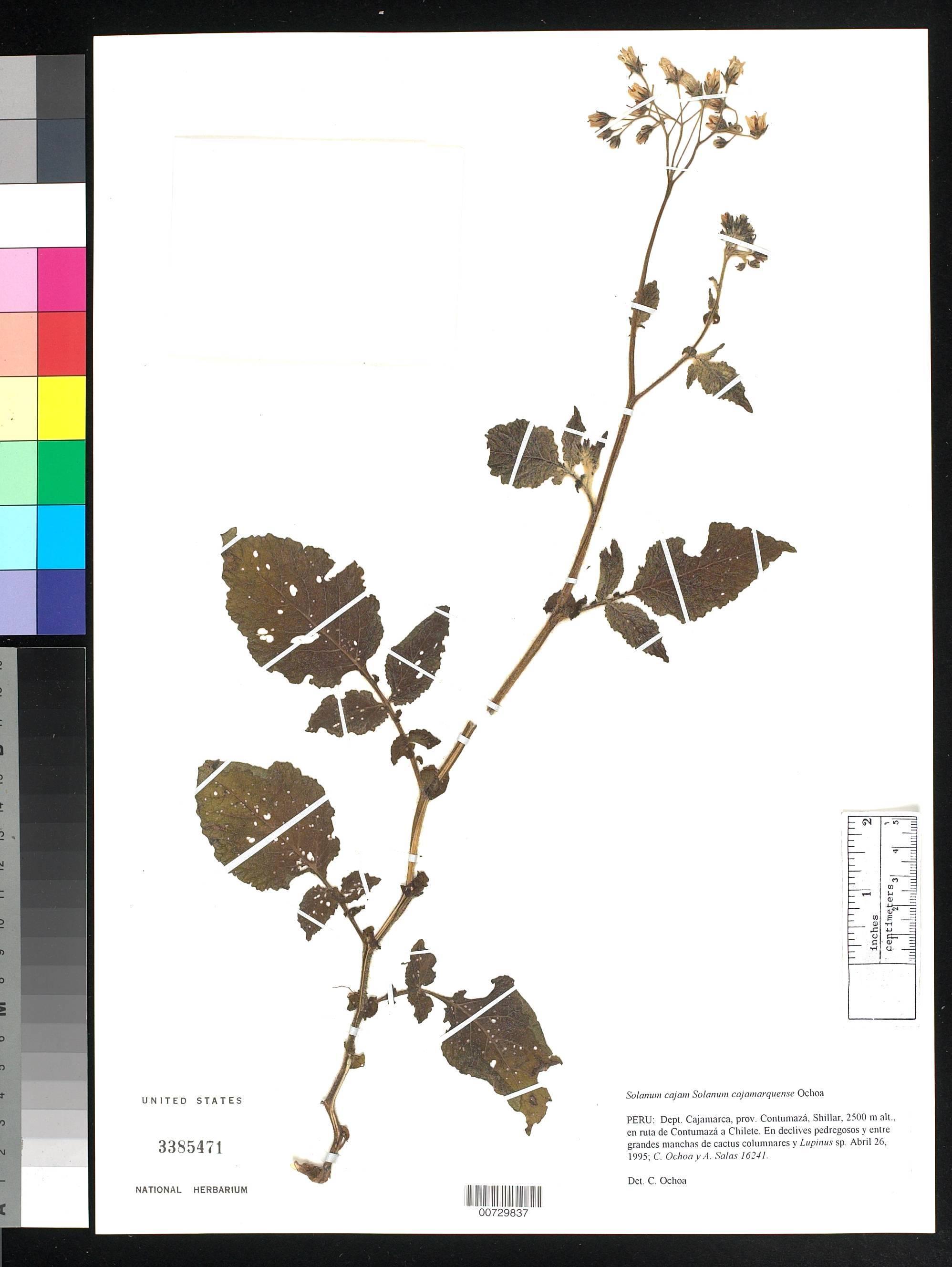 Image of <i>Solanum cajamarquense</i> Ochoa
