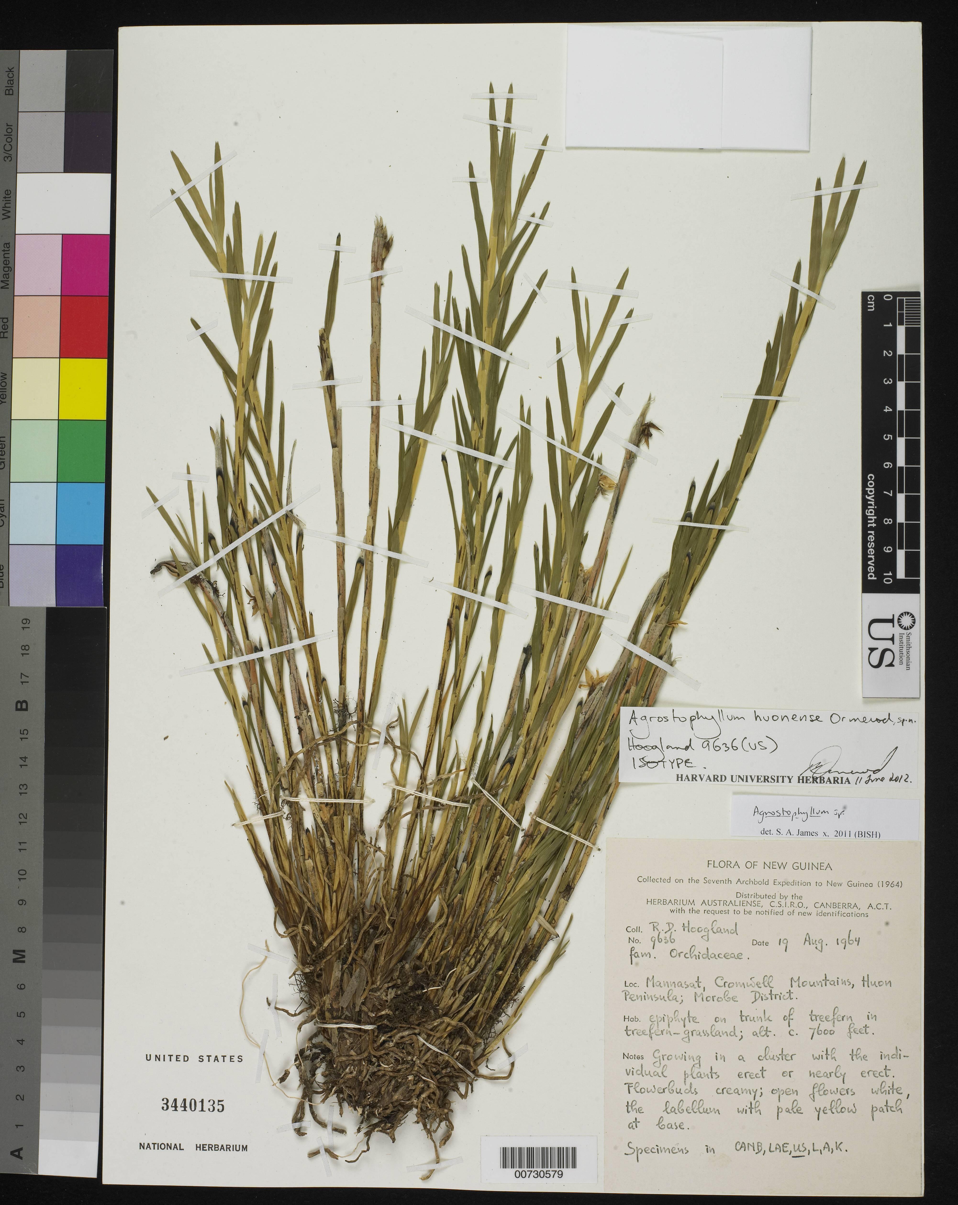 Image of <i>Agrostophyllum huonense</i> Ormerod