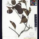 Image of <i>Agatea violaris</i> A. Gray